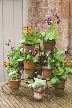 auriculas on stand