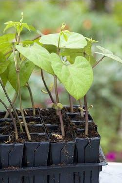 seedlings in rootrainers